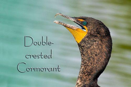 cormorant_8184-64txt.jpg