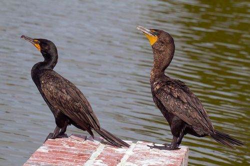 cormorants_8187-64.jpg