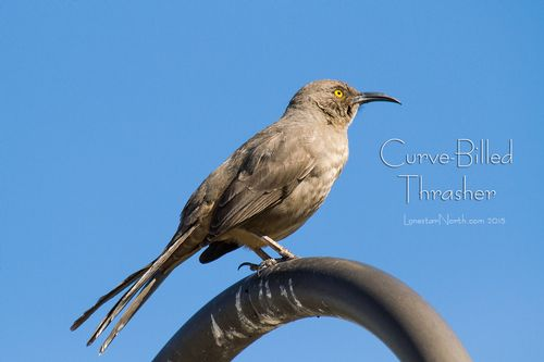 curve-billed-thrasher_2728-64txt.jpg