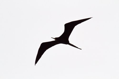 figate-bird_4006-64.jpg