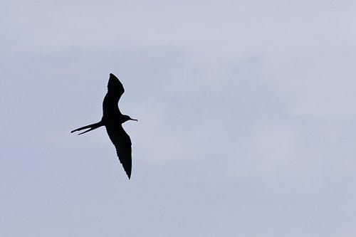 frigate_bird_7393-641.jpg