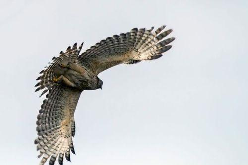 hawk-wings_3571-641.jpg