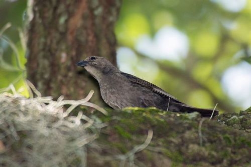 indigo-bunting-female_2933-64.jpg