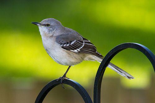mockingbird_2715-64.jpg