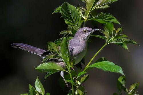 mockingbird_tpz9837-64.jpg