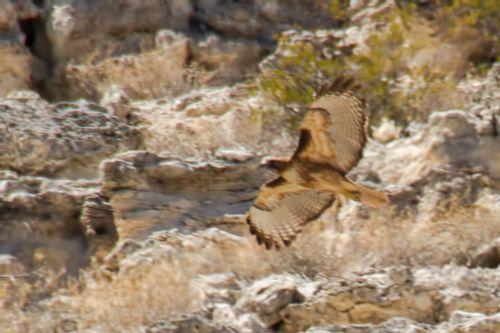 montezuma-cliff-hawk_4945a-64.jpg