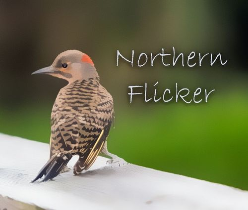 northern_flickerTZ-TXT_1196-64.jpg