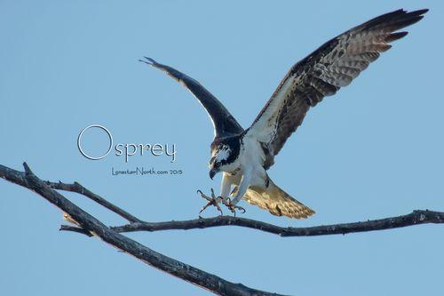 osprey-claws_tpz3838-1083-64txt.jpg
