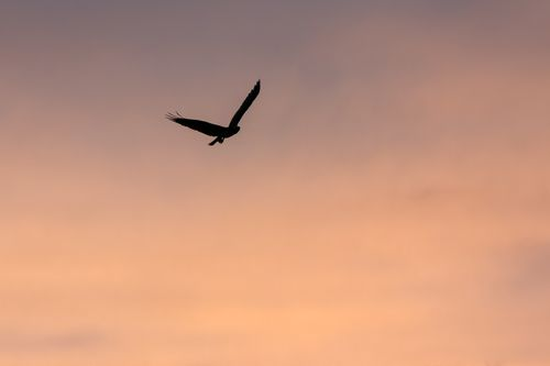 osprey-flight-sunset_1970-6412.jpg