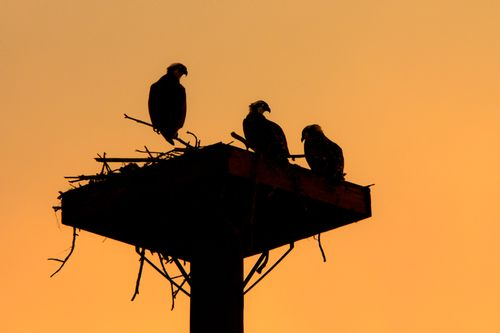 osprey-nest-sunset_1956-641.jpg