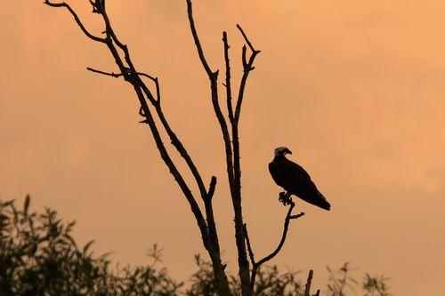 osprey-sunset_1953-641qr.jpg