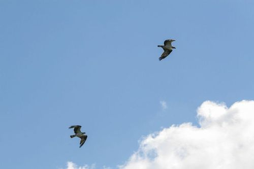 osprey_0040-64.jpg