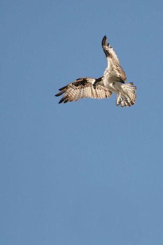 osprey_hover_0870-4X6.jpg