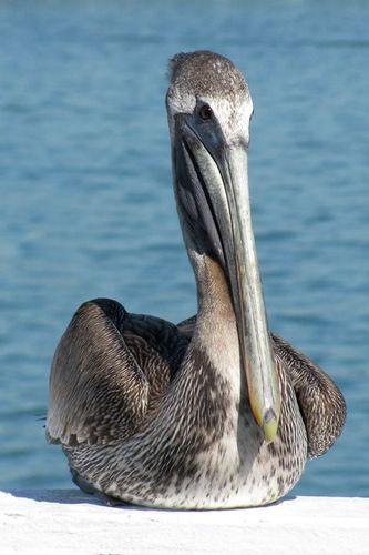 pelican_0104-46.jpg