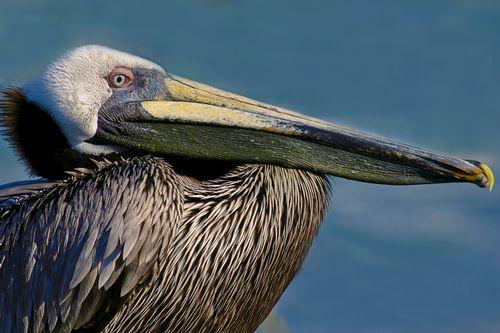 pelican_0250-6X4.jpg