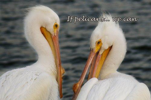 pelican_1048-6X4wecan.jpg