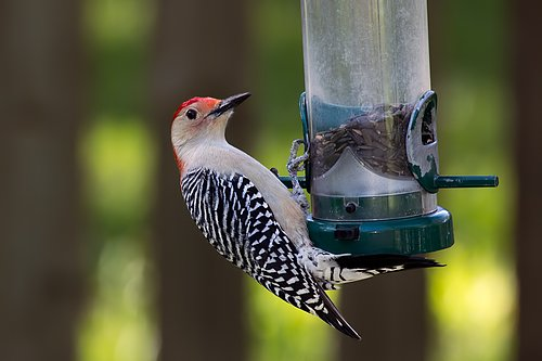 red-bellied-woodpecker_0540-64.jpg