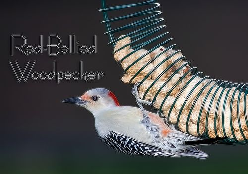 red-bellied-woodpecker_3053TZ-txt.jpg