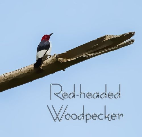 red-headed-woodpecker_6527TXTZ-46.jpg