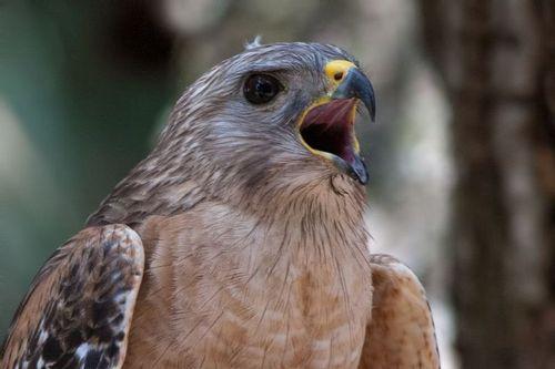 red-shouldered-hawk_1665-641.jpg