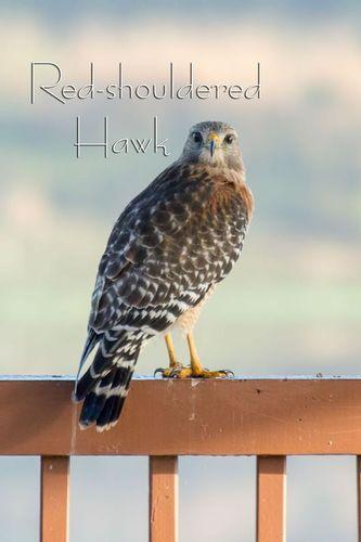 red-shouldered-hawk_3545-46txt1.jpg