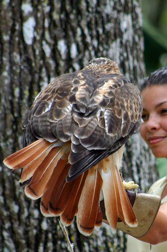 red-tailed-hawk_2307-46.jpg