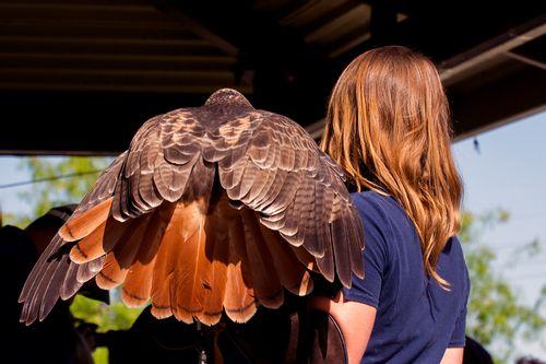 red-tailed-hawk_2765-64.jpg