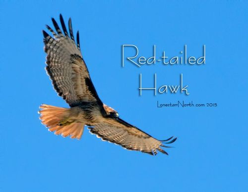 red-tailed-hawk_4938-64txt.jpg