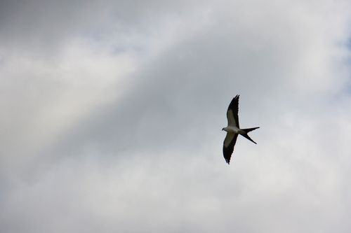 swallow-tailed-kite_1034-4x6.jpg