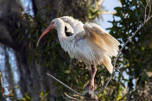 white-ibis_3784-64.jpg