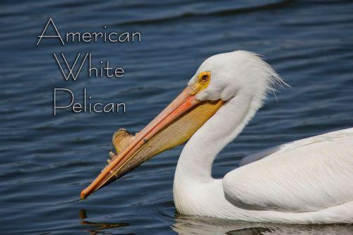 white_pelican_1806-64txt.jpg