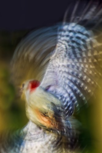 woodpecker-blur_0281a-64.jpg