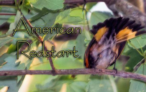American-Redstart_4480TXT-53.jpg