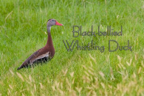 a-Black-bellied-Whistling-Duck_3446txt-64.jpg