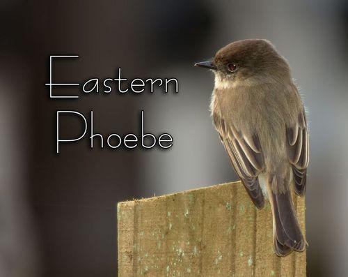 a-eastern-phoebe_4614txt-64.jpg