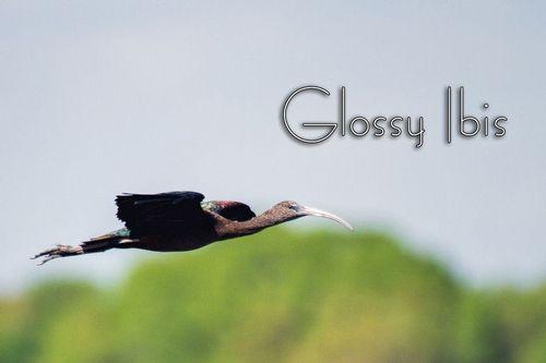 a-glossy-ibis_1900txt-64.jpg
