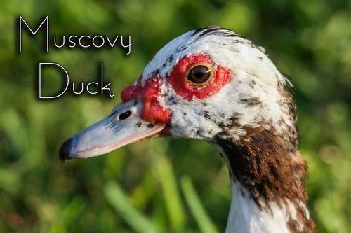 a-muscovy-duck-juvenile_1075txt-64.jpg