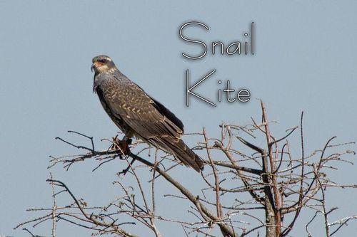 a-snail-kite_0948txt-64.jpg