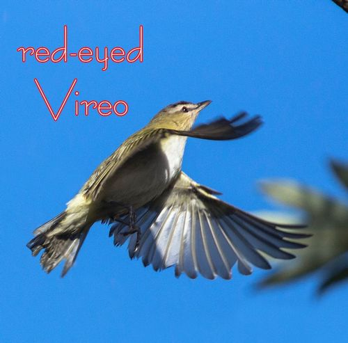 aRed-eyed-Vireo_6958txt.jpg