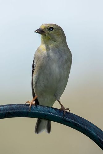 american-goldfinch_0132-46.jpg
