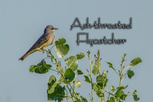 ash-throated flycatcher_5962txt-64.jpg