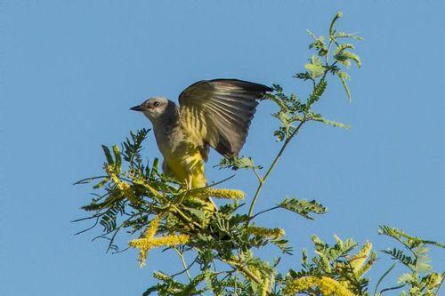 ash-throated flycatcher_5969-64.jpg