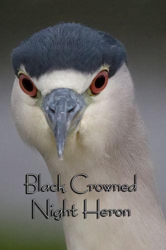 black-crowned-night_heron_0353txt-46.jpg