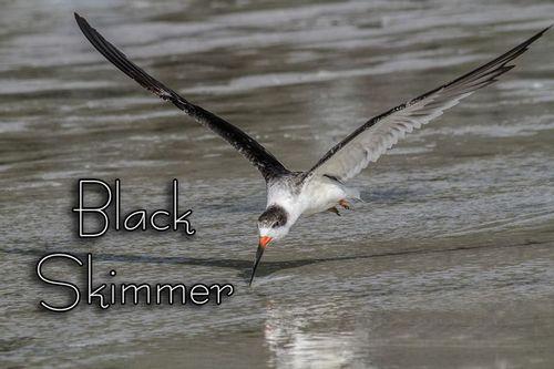 black-skimmer-skimming_8502txt-64.jpg