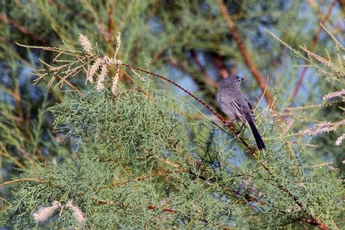 black-tailed-gnatcatcher_1327-64.jpg