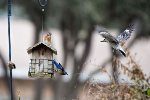 bluebird-woodpecker_8280-64.jpg