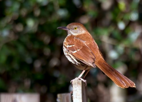 brown-thrasher_6180-75.jpg