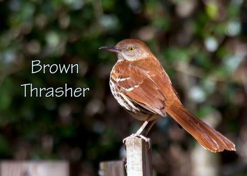 brown-thrasher_6180txt-75.jpg