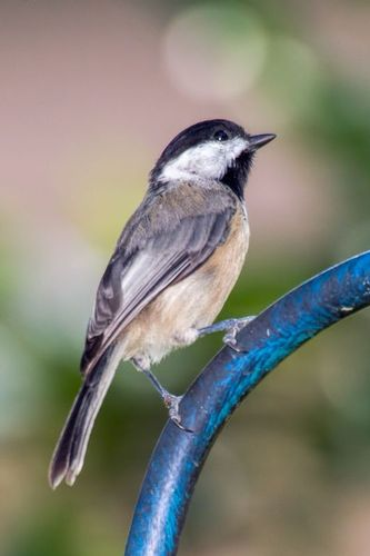 carolina_chickadee_8982-46.jpg