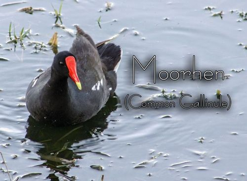common-gallinule_0716txt.jpg